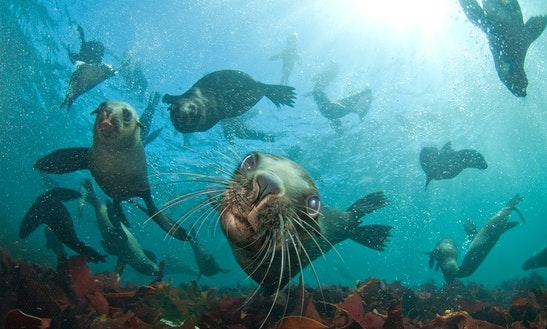 Seal Snorkeling With Animal Ocean In Hout Bay, Cape Town