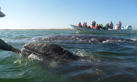 Whale Watching Boat Trips In La Paz, Mexico