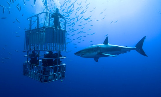 Great White Shark Cage Diving In Cape Town
