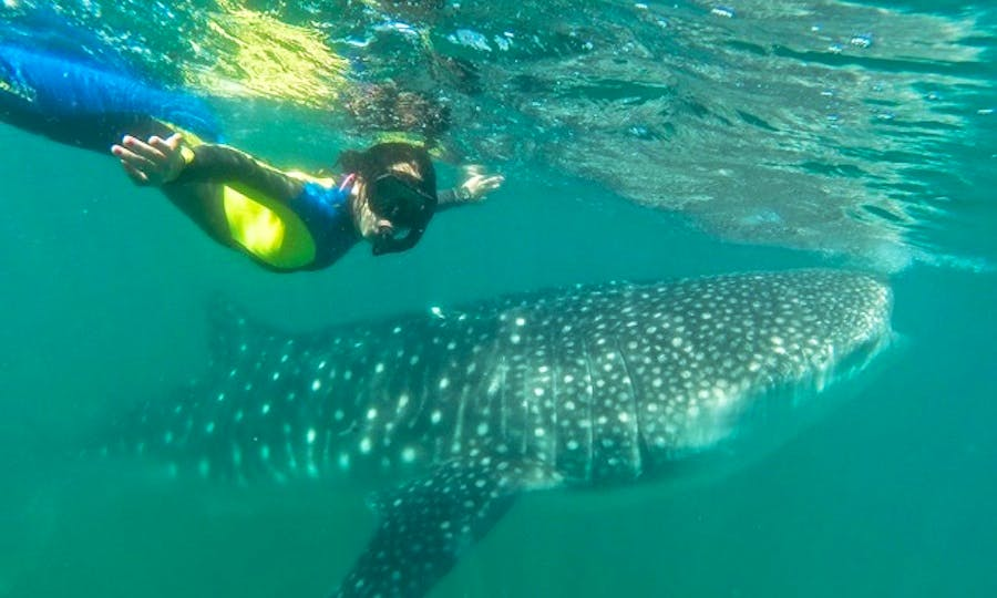 Snorkeling and Dive Trips in La Paz with the famous WHALE SHARKS
