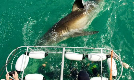 Shark Cage Diving Trips In Cape Town, South Africa