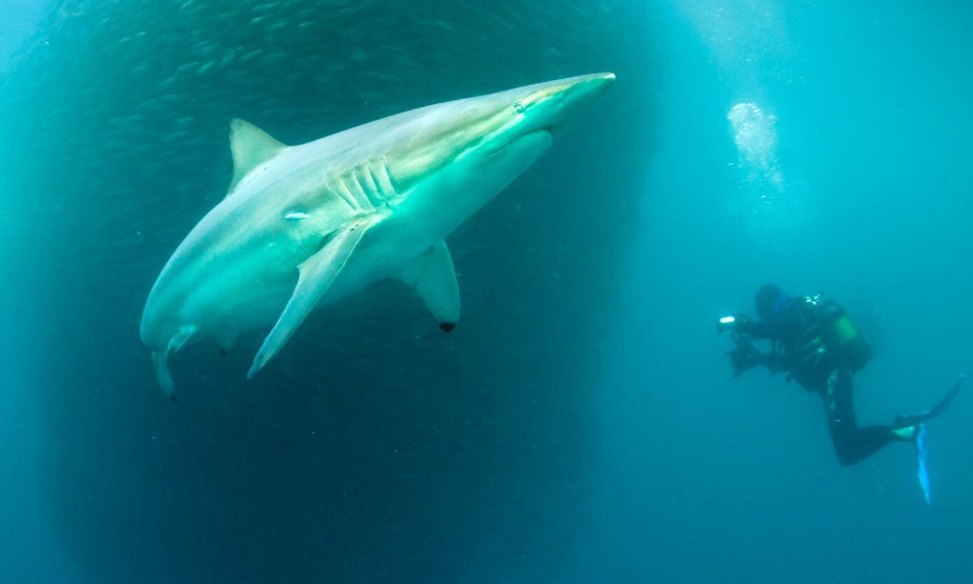 Diving the Sardine Run with Discovering Africa Safaris