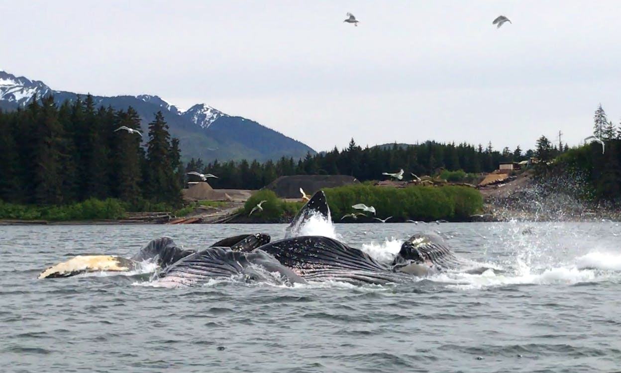 Whale Watching Icy Strait Point Hoonah Alaska